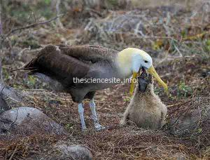 First Returning Albatross Flits Briefly Home