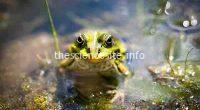 green frog in the lake
