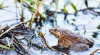 New Find of Threatened New Zealand Frogs