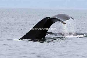Public Asked to Keep Tabs on Migrating Whales