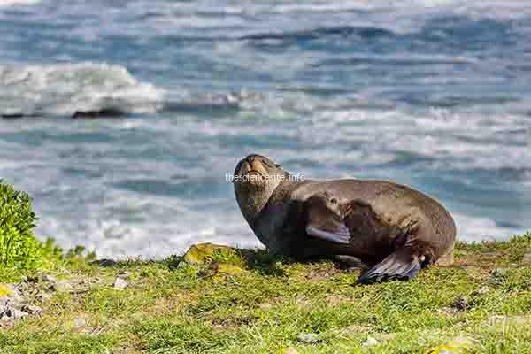 Pretty relaxing seal in the beach, New Zealand